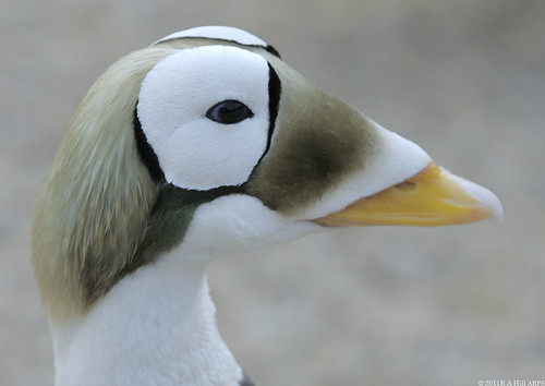 Spectacled eider drake | by gentle lemur