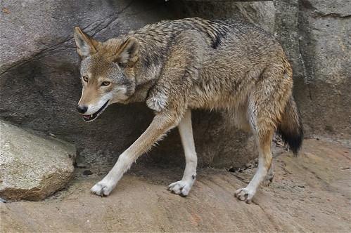 Grey Wolf Dog Food Ingredients