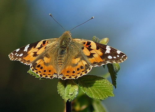 Painted Lady | by Paul:Ritchie