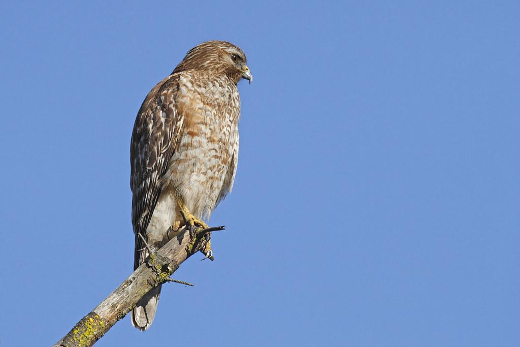 juvenile redshouldered hawk1 of 2 in set buteo