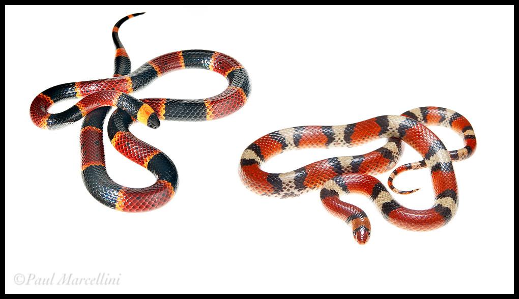 Alabama black snake 2 - 3 5