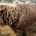 Shearing '11: Fudgy Before!