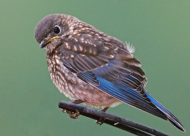 Baby Eastern Bluebird Flickr Photo Sharing