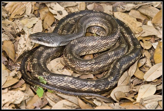 rat snake texas images - photo #35