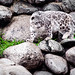 "the Snow Leopard, ""Asia"""