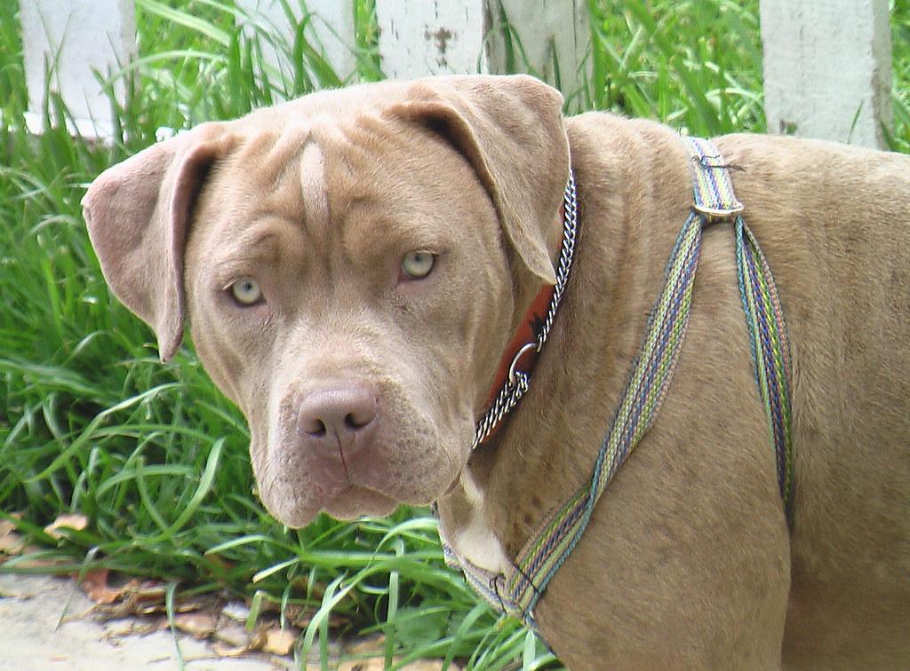 A4953976 Rusty | Pit Bull/Bullmastiff Mix Puppy - YouTube |Pitbull Mastiff Mix