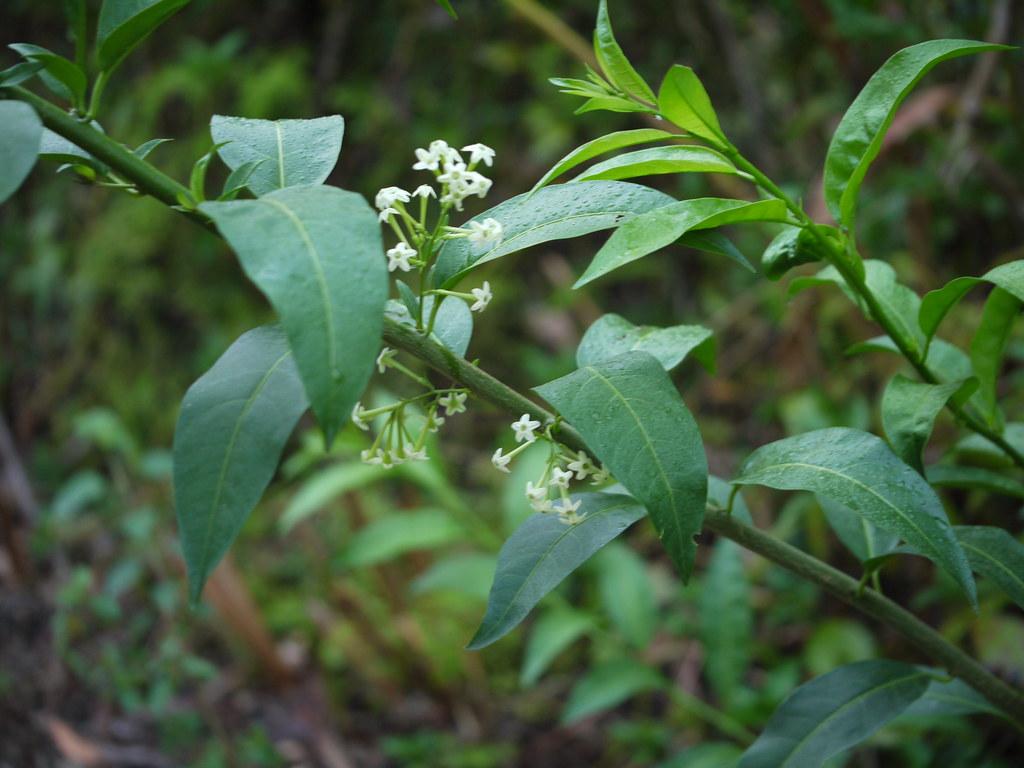 Raat ki rani hindi solanaceae solanum for Terrace meaning in hindi