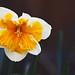 Spring Garden - April 2011 - Exotic Daffodil for Judecat