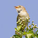 Willow Warbler Song