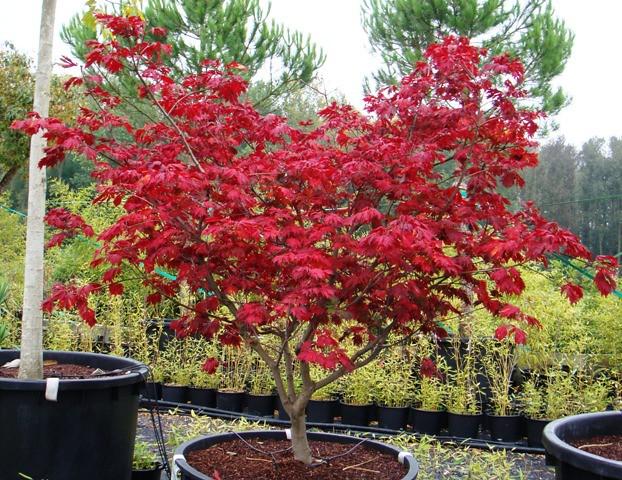 acer japonicum cv aconitifolium
