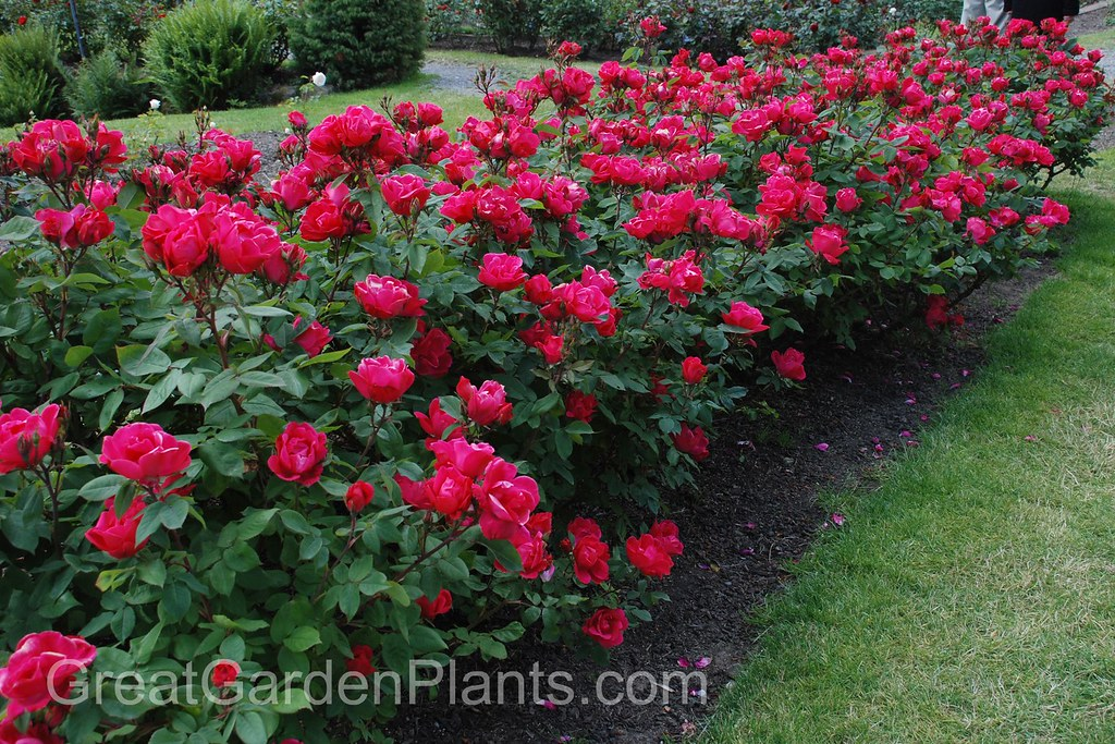 Knock out roses as a low growing hedge plant www for Low growing landscape plants