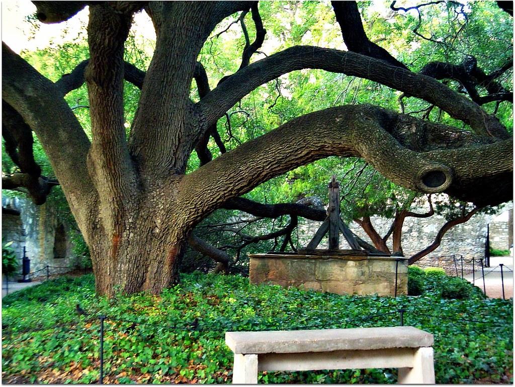 majestic live oak alamo garden san antonio texas cameliatwu flickr. Black Bedroom Furniture Sets. Home Design Ideas
