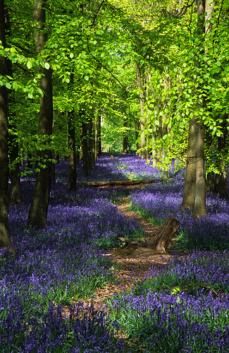 Ashridge Park, Hertfordshire, UK | National Trust Woodlands carpeted with English Bluebells in Spring (2 of 5) | by ukgardenphotos