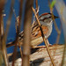 Melospiza georgiana, Swamp Sparrow