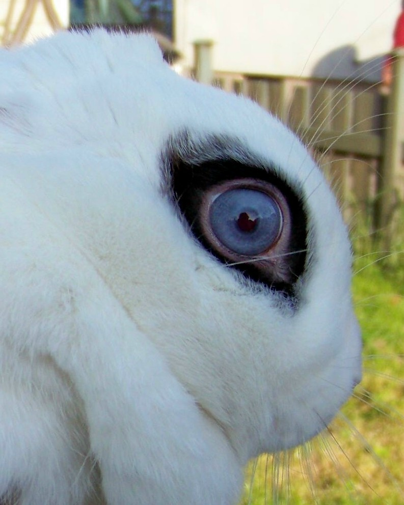 white bunny with blue eyes | Cuñatai | Flickr