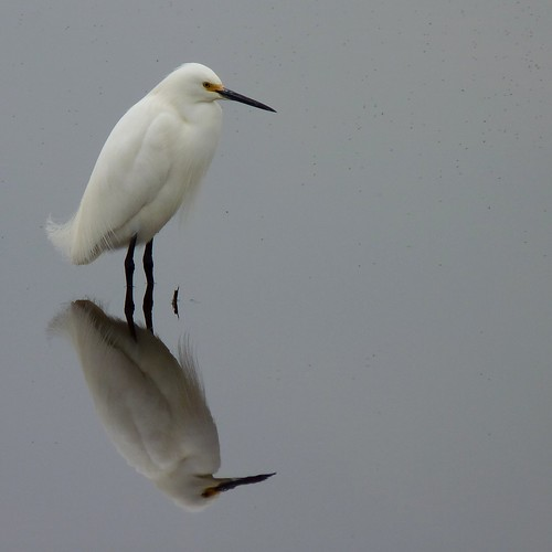 Snowy Egret | by Dendroica cerulea