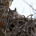 Great Horned Owl in Nest (Re-crop)