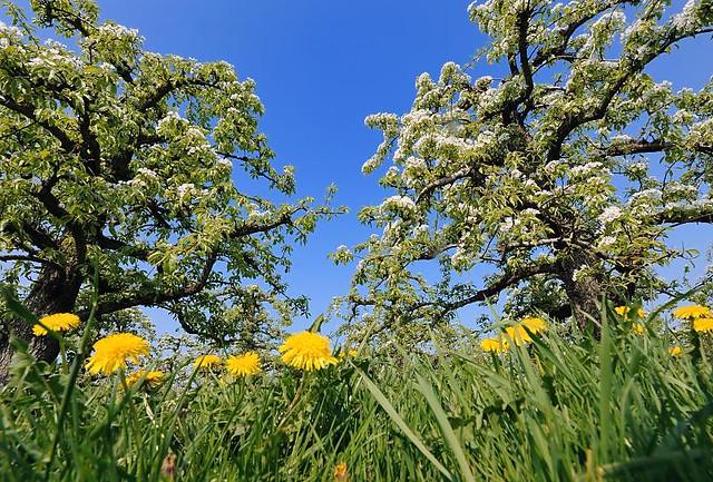 Unter blühenden obstbäumen - stadtteilbilder aus hamburg francop