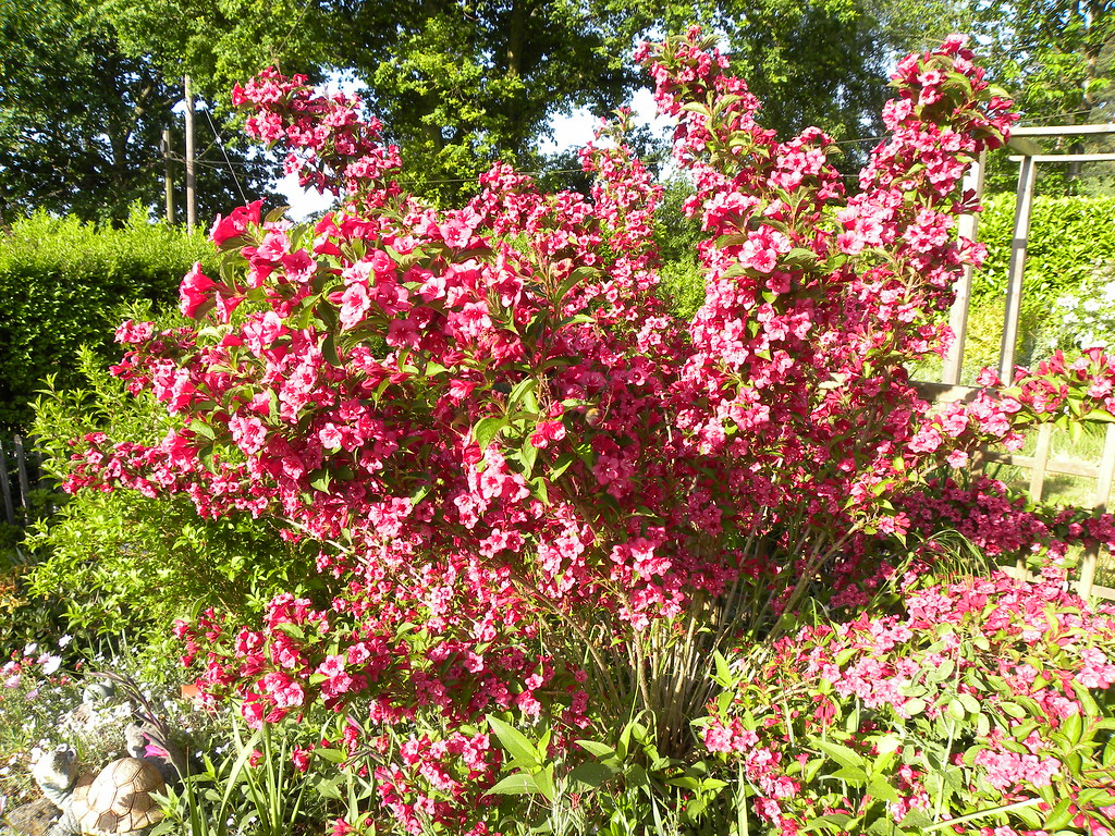 weigela bristol ruby one of my beautiful shrubs. Black Bedroom Furniture Sets. Home Design Ideas