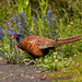 Tip Toe Through The Wild Flowers!!  (Male Pheasant)