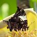 Jazzy Leafwing Butterfly (Hypna clytemnestra)