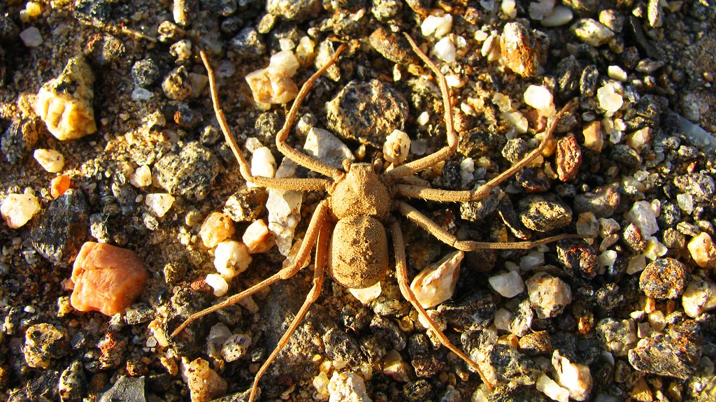 Six Eyed Desert Crab Spider Sicarius Hahnii A Highly