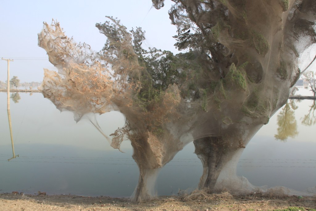 spider trees in khairpur nathan sindh pakistan trees coc flickr. Black Bedroom Furniture Sets. Home Design Ideas