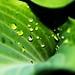 Leaf Droplets