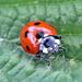 7 spot Ladybird (explored)