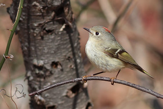 Ruby-crowned Kinglet | by billy3001