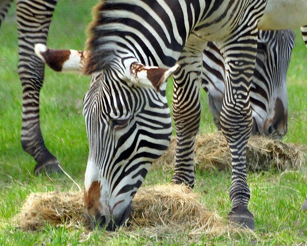 Zebra Scientific Name Grevy's Zebra | Scient...