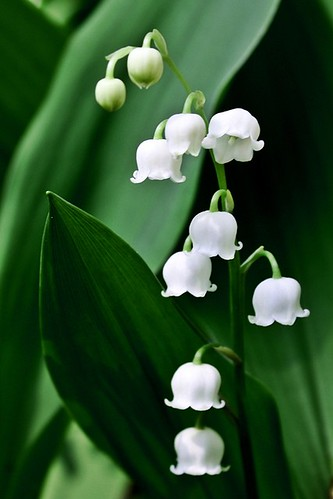 Lily of the Valley | by drysdaleandco