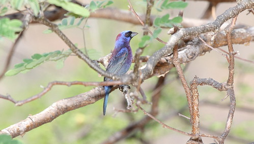 Varied Bunting (Passerina versicolor) | by Dominic Sherony