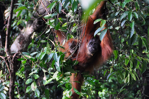 Bukit Lawang - Sumatran Orangutan with Baby | by Drriss & Marrionn
