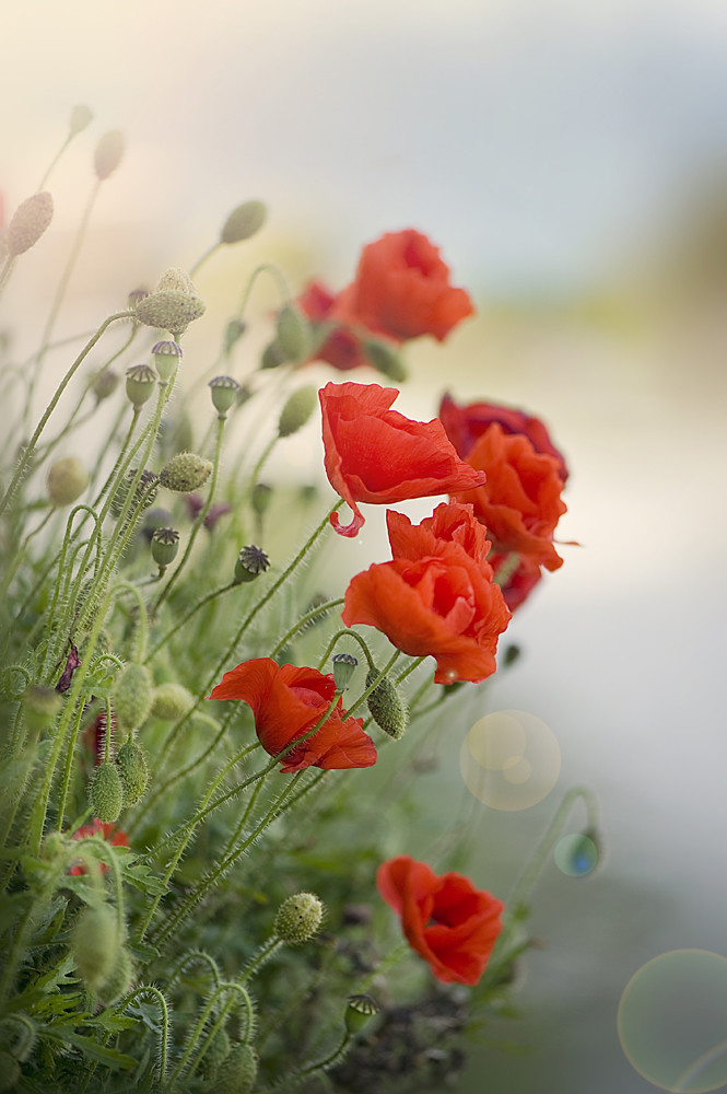 Poppy Haze by Jacky Parker