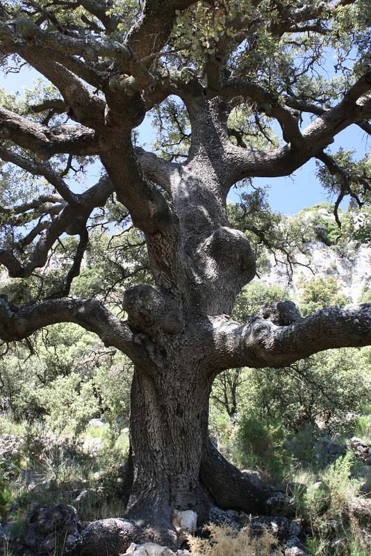 Ancient Oak Tree 500 Year Old Oak Tree Near The Mas De