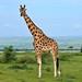 Rothschild's Giraffe (Giraffa camelopardalis rothschildi) male