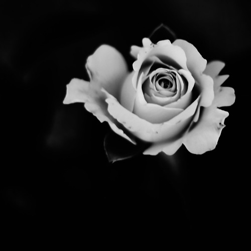 Canon eos 5d mark iii black white rose