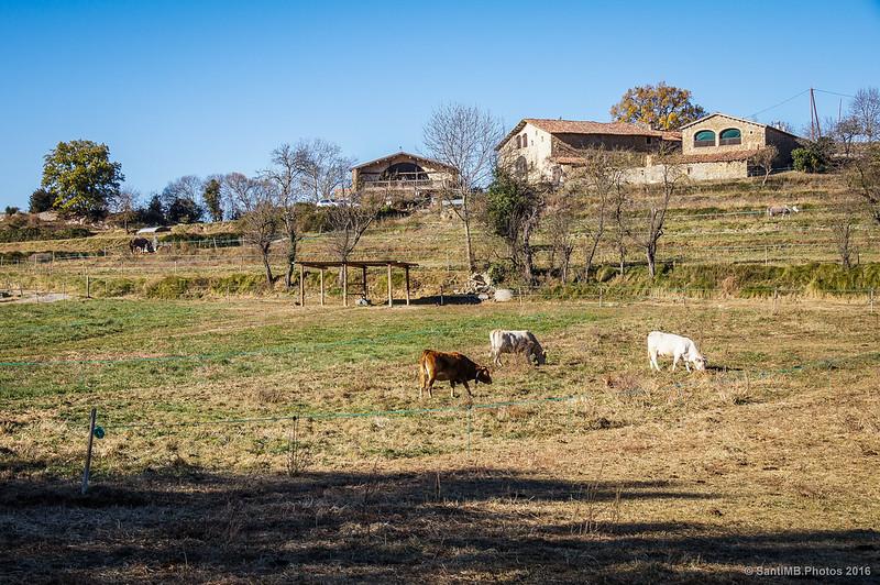 Vacas pastando en la Cabanya del Mir.