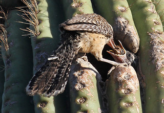 Cactus wren and chick | by SearchNetMedia