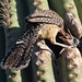 Cactus wren and chick