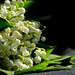 Lily of the Loire Valley