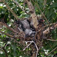 Три маленьких воронёнка