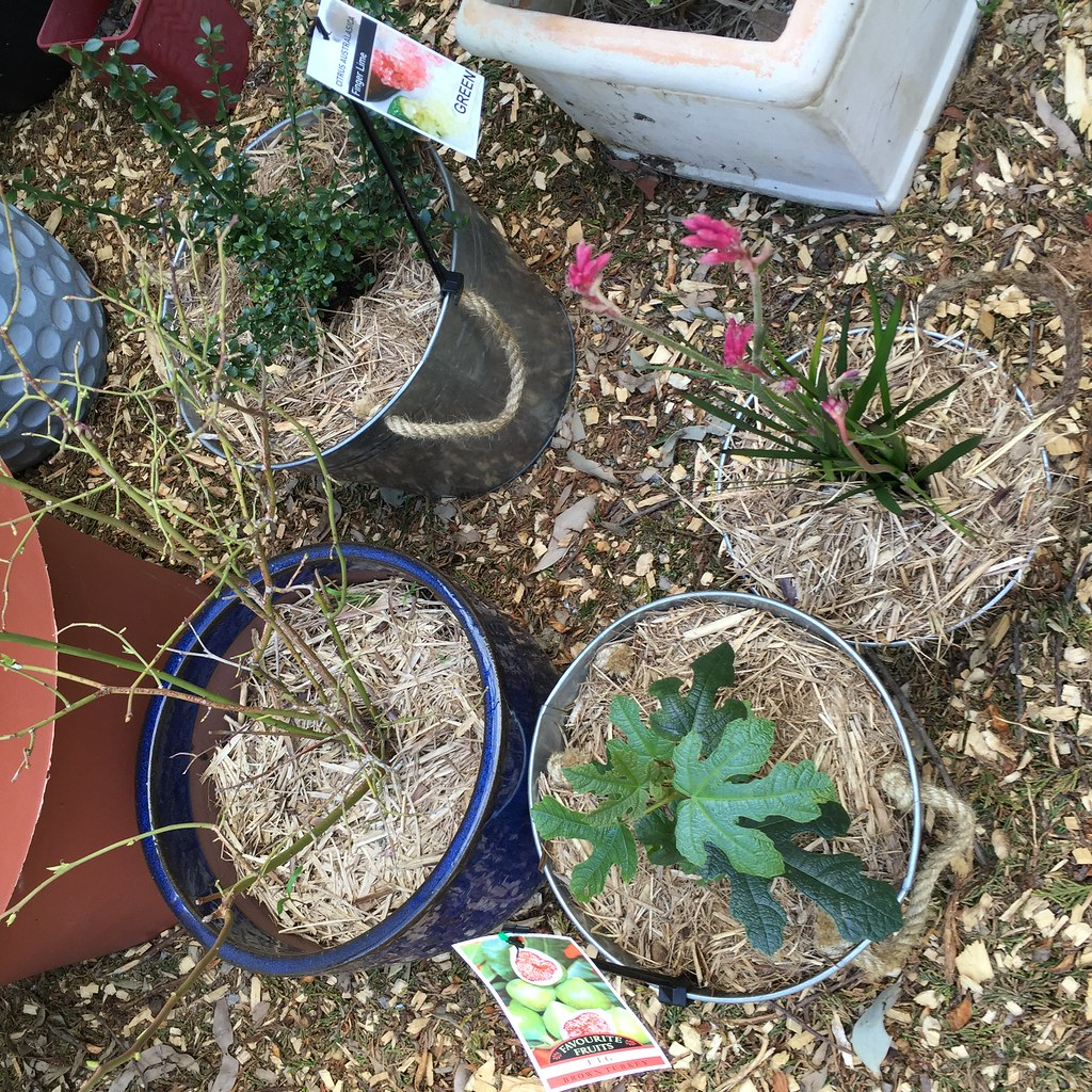 three metal bucket pots planted out with a fig tree, a finger lime tree and an australian native, pink kangaroo paw
