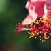 wonderful hibiscus