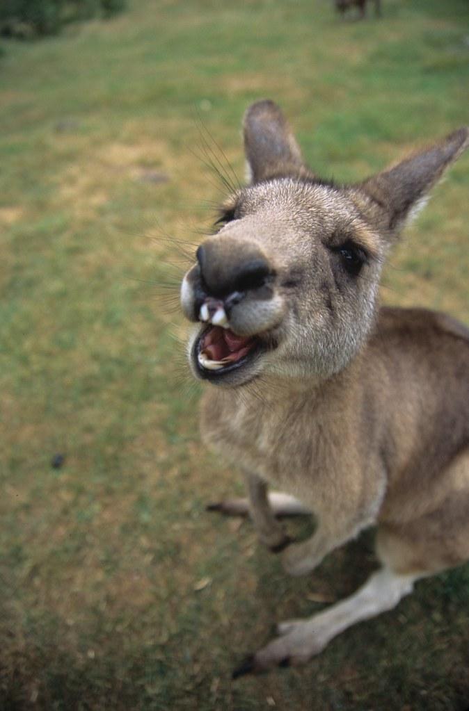 Smiling Kangaroo Tasmania Guy Sade Flickr