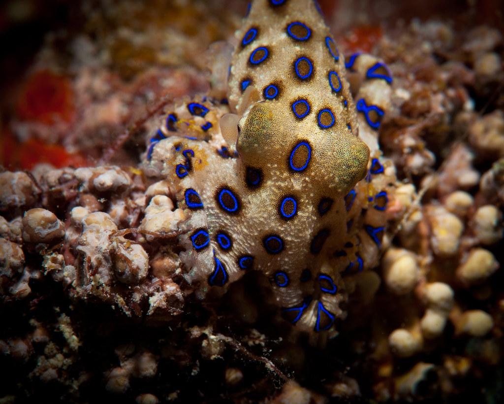 blue ringed octopus hapalochlaena lunulata blue ringed