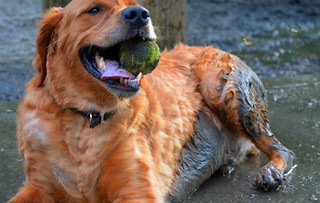 Muddy Golden Retriever: Featured on the A-Town Dog Blog [EXPLORE] | by WilliamMarlow