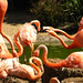 Flamingos shouting at each other