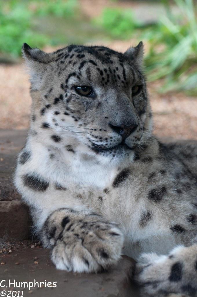 Paradise Wildlife Park: Snow Leopard | These rare ...